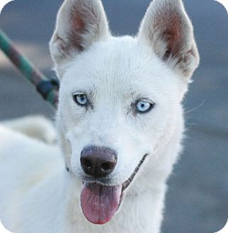 Siberian Husky Dog for adoption in Canoga Park, California - Sierra