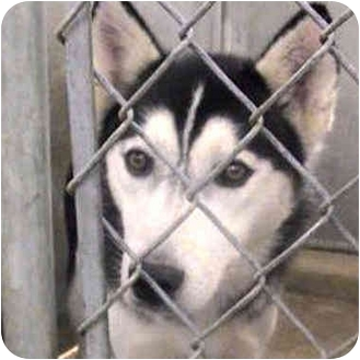 Siberian Husky Dog for adoption in Various Locations, Indiana - Anderson Girl