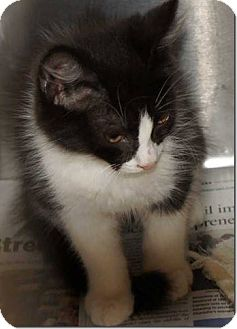 Domestic Mediumhair Kitten for adoption in Concord, North Carolina - Carter