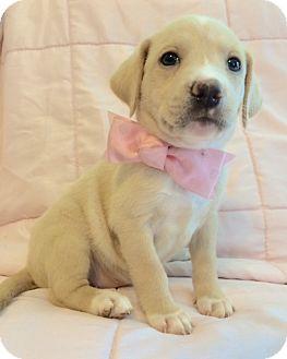 Labrador Retriever/Feist Mix Puppy for adoption in Carlisle, Pennsylvania - Kate