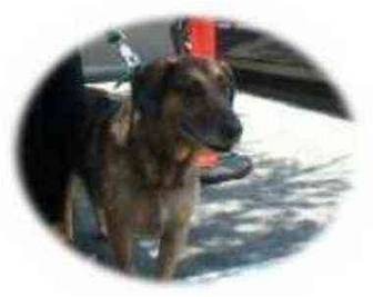 German Shepherd Dog/Hound (Unknown Type) Mix Dog for adoption in West Los Angeles, California - Rodeo