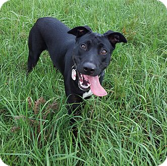 Labrador Retriever/Doberman Pinscher Mix Dog for adoption in Olympia, Washington - Ebby