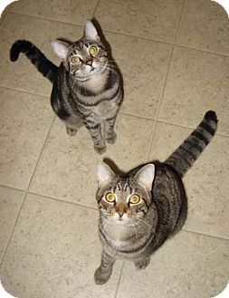 Domestic Shorthair Cat for adoption in Merrifield, Virginia - Tango