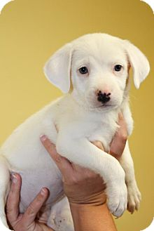 Labrador Retriever/Pit Bull Terrier Mix Puppy for adoption in Milford, New Jersey - Bella