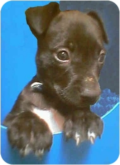 Labrador Retriever/American Staffordshire Terrier Mix Puppy for adoption in Harbor City, California - Roxanne