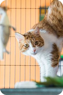 Domestic Shorthair Cat for adoption in New Orleans, Louisiana - Bowie