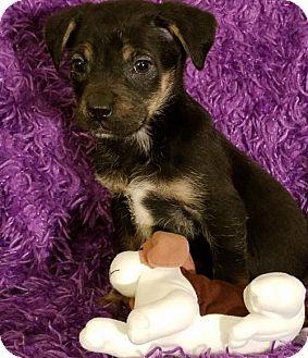 Labrador Retriever Mix Puppy for adoption in Newark, Delaware - Lori