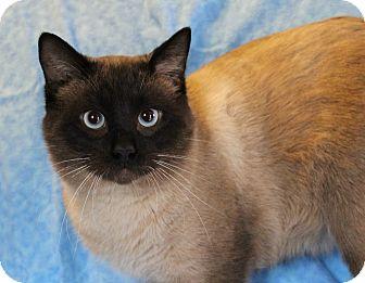 Siamese Cat for adoption in Greensboro, North Carolina - Simon