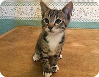 Domestic Shorthair Kitten for adoption in Springfield, Oregon - Socks