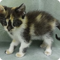 Adopt A Pet :: Patches - Olive Branch, MS