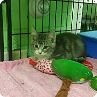 Domestic Shorthair Kitten for adoption in Bloomingdale, New Jersey - Moses
