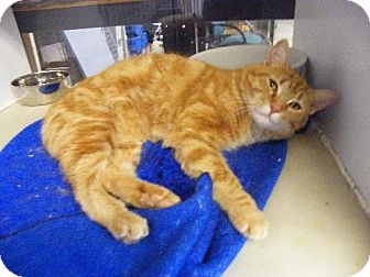 Domestic Shorthair Cat for adoption in Holland, Michigan - Riesling