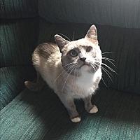 Siamese Cat for adoption in Hampton, Virginia - Dante