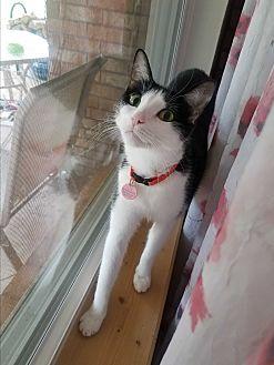 Domestic Shorthair Cat for adoption in Edmond, Oklahoma - Anais