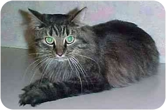 Domestic Mediumhair Cat for adoption in North Judson, Indiana - Jake