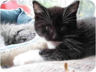 Domestic Shorthair Kitten for adoption in Saanichton, British Columbia - Audi