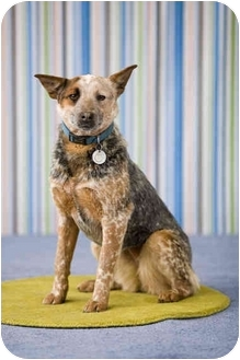 Australian Cattle Dog Dog for adoption in Portland, Oregon - Shanni