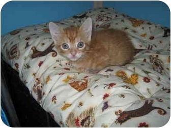 Domestic Shorthair Kitten for adoption in California, Missouri - Cheddar