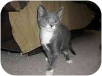Domestic Shorthair Kitten for adoption in Tampa, Florida - Emma