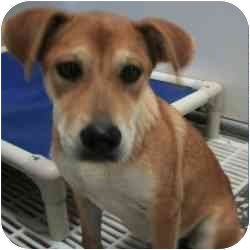 Shiba Inu/Beagle Mix Puppy for adoption in Alexandria, Virginia - Rosalie