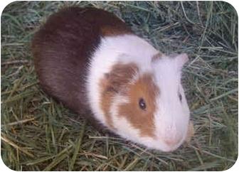 Guinea Pig for adoption in Phoenix, Arizona - Millie