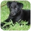 Photo 2 - Labrador Retriever Mix Puppy for adoption in Kingwood, Texas - Mini Lab Babies