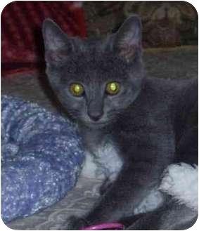 Russian Blue Kitten for adoption in San Diego/North County, California - Eddie