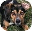 Beagle Mix Dog for adoption in Hamilton, Ontario - Mya