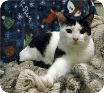 Domestic Shorthair Cat for adoption in Portland, Oregon - Albert (with Cecil)