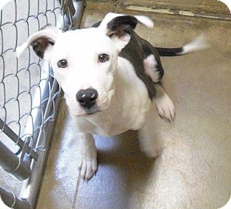 Pit Bull Terrier Mix Puppy for adoption in Wickenburg, Arizona - Sadie