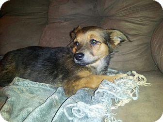 Chihuahua/Dachshund Mix Puppy for adoption in Chilliwack, British Columbia - KESHA