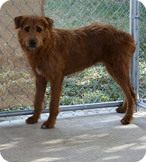Airedale Terrier Mix Dog for adoption in San Antonio, Texas - Peggy