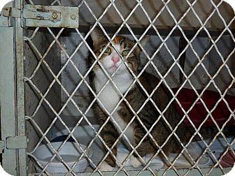 Domestic Shorthair Cat for adoption in Alden, Iowa - Daphnee