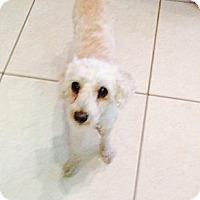 Adopt A Pet :: Romeo - Pembroke pInes, FL