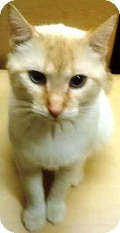 Siamese Cat for adoption in Kalamazoo, Michigan - Phoenix
