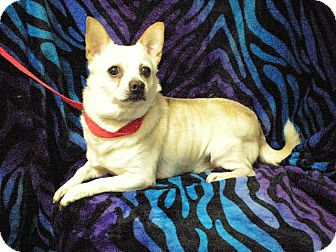 Chihuahua Mix Dog for adoption in New Castle, Pennsylvania - Dole