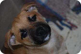 Shepherd (Unknown Type) Mix Puppy for adoption in Philadelphia, Pennsylvania - Porky
