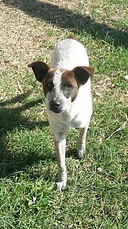 Blue Heeler/Cattle Dog Mix Dog for adoption in San Antonio, Texas - Ace