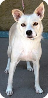 American Eskimo Dog/Sheltie, Shetland Sheepdog Mix Dog for adoption in Gilbert, Arizona - Mesa
