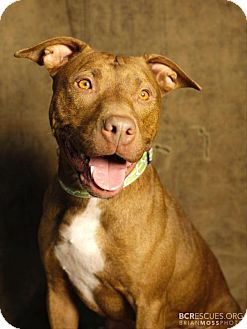 American Pit Bull Terrier/Terrier (Unknown Type, Medium) Mix Dog for adoption in Cliffside Park, New Jersey - FRENCHIE