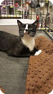 Domestic Shorthair Cat for adoption in Tega Cay, South Carolina - Apple Pie