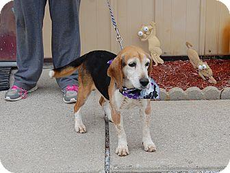 Beagle Dog for adoption in North Judson, Indiana - Sherman