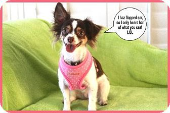 Pomeranian/Chihuahua Mix Dog for adoption in Dallas, Texas - Rosie