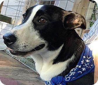 Labrador Retriever/German Shepherd Dog Mix Puppy for adoption in Stamford, Connecticut - A - NARNIA