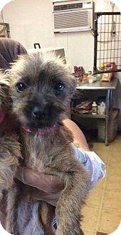 Terrier (Unknown Type, Medium)/Poodle (Miniature) Mix Puppy for adoption in Mesa, Arizona - BRIGETTE