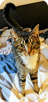 Domestic Shorthair Cat for adoption in Castro Valley, California - Bella