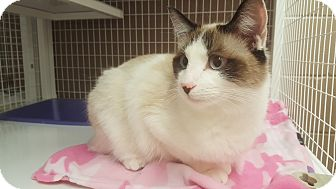 Domestic Shorthair Cat for adoption in Douglas, Wyoming - Sparrow