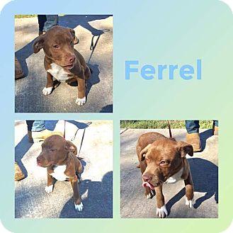 Labrador Retriever/Weimaraner Mix Puppy for adoption in Mesa, Arizona - FERREL