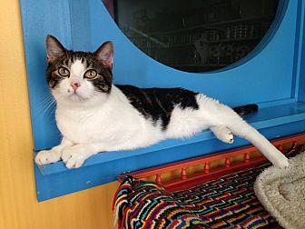 Domestic Shorthair Cat for adoption in Topeka, Kansas - Buddy