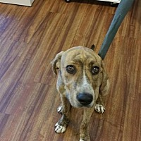 Adopt A Pet :: Scarlet - Glen St Mary, FL